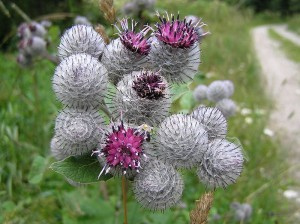 Bioinspired design:  the prickly heads of these burdock plants (called burrs) are noted for easily catching on to fur and clothing -- and were the inspiration for Velcro (image courtesy Wikipedia).